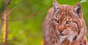 Lynx Mac OS X 10.9 © Flickr _ Tambako the Jaguar